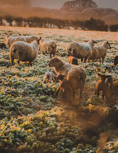 Group Of Animals Mammal Animal Themes Animal Livestock Domestic Animals Vertebrate Domestic Pets Animal Wildlife Field Animals In The Wild No People Nature Large Group Of Animals Land Day Outdoors Sheep Herd Herbivorous