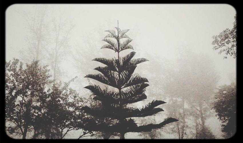 Foggy mornings Fog Pine Tree TheTeaLife Chillin' December
