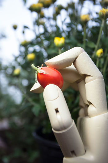 prosthetic hand picking cherry tomato Red Plant Close-up Day Nature Healthy Eating Food Growth Vegetable Freshness Outdoors Ripe Cherry Tomato Vertical Holding Picking Hand Limb Prosthetic Robotic Cyborg Symbol Techology Industrial Agriculture