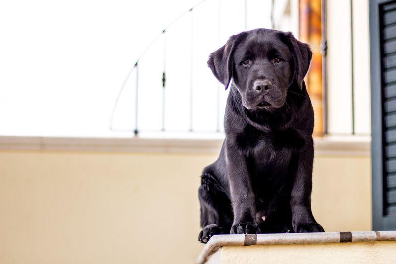 Portrait of black dog sitting against wall