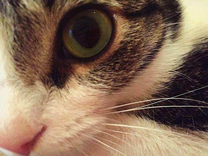 Cute Pets Animal Eye Cat Beautiful Animals  I❤️Cat I ❤️ Cats Cats 🐱 Cats Of EyeEm Cat Lovers Cat♡ EyeEm Animal Lover Eyeem Best Shots - Animals I❤️cats IPhoneography EyeEm Best Shots Our Best Pics Arabian Mau  Domestic Cat Domestic Animals