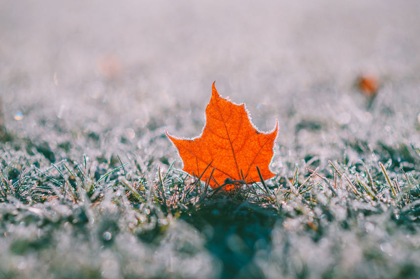 Leaf Capture Tomorrow Europe Nikon Nikon Z7 Z7 Capital Vilnius Leaf Frost Selective Focus Autumn Plant Part Nature Plant Orange Color Maple Leaf Close-up Land Day No People Dry Field Change Outdoors Tree Grass Beauty In Nature Cold Temperature Surface Level Leaves
