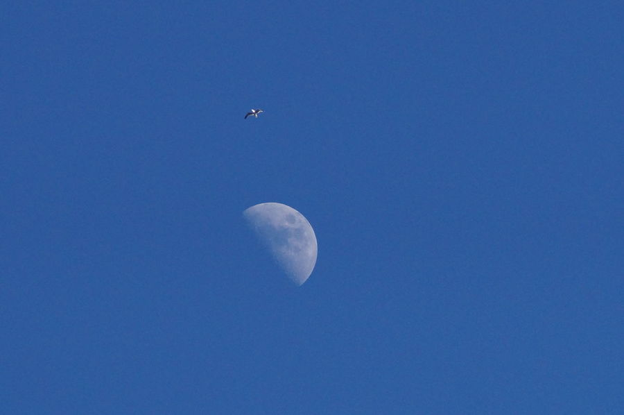 Moon Moon Shots Round Circle Half Moon Light Daylight Blue Sky Blue White White Moon Bird Flying High Birds Zoom Colors Colours Contrast Contrasting Colors Day Daytime Daytime Moon