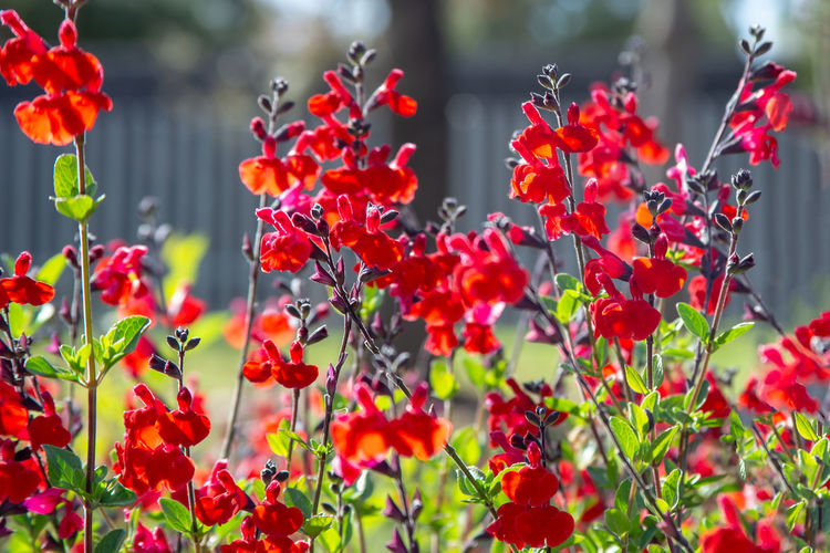 Flower Garden Red Antirrhinum Background Beautiful Beauty Bloom Blossom Color Floral Green Nature Petal Plant Snapdragon Summer Blooming Colorful Flora Fresh Leaf Natural Outdoor Spring Botany Closeup Season  Botanical Decorative Low Horticulture Common Snapdragon Antirrhinum Majus Seasonal Bed Majus Grow Annual Plant Annual Bright Botanic Organic Scrophulariaceae Growth Foliage Isolated Herb Gardening HEAD The Great Outdoors - 2019 EyeEm Awards