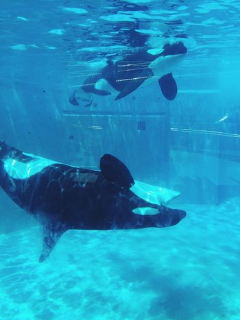 Lovely Seaworld San Diego Seaworld Killer Whale Sea Life Animal Themes Underwater Wildlife Shamoo 🐳