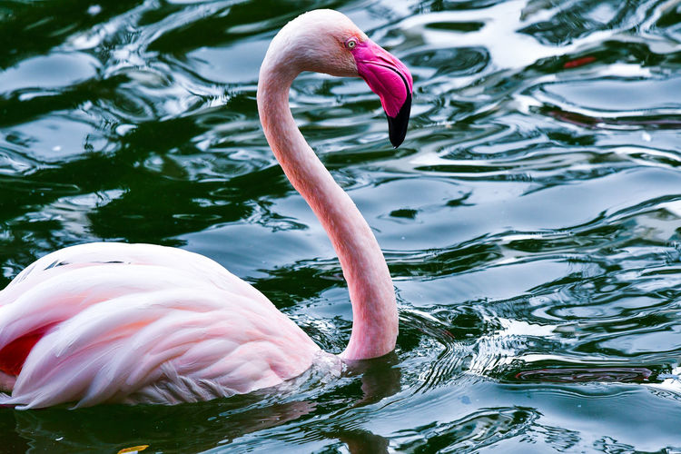 Close-up of a flamingo in a lake