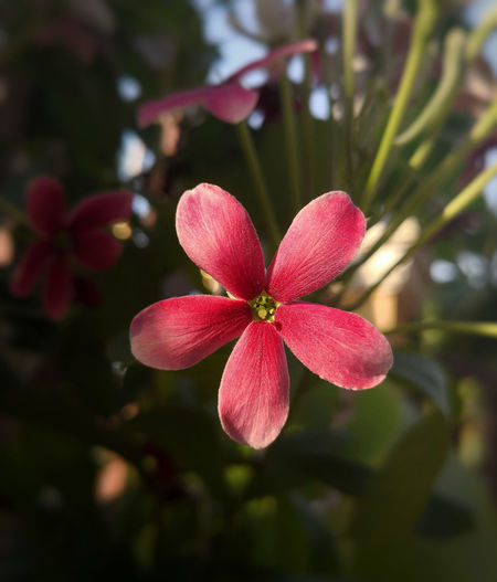 Rangoon Creeper Rangoon Creeper Flower Sunlight Sunrise Sunlight And Shadow Light And Shadow Pollen Beauty In Nature Pink Flower 🌸 Lovely Flower  In My Garden Nature Photography Nature Photography Nature On Focus Flower Head Flower Tree Red Fruit Close-up Plant Blossom In Bloom Blooming
