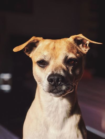 My Dog Dogs Of EyeEm One Animal Animal Themes Animal Mammal Dog Canine Pets Looking At Camera Focus On Foreground Animal Body Part No People Indoors  Close-up Vertebrate Portrait Domestic Animals Animal Head  Domestic Looking Home Interior
