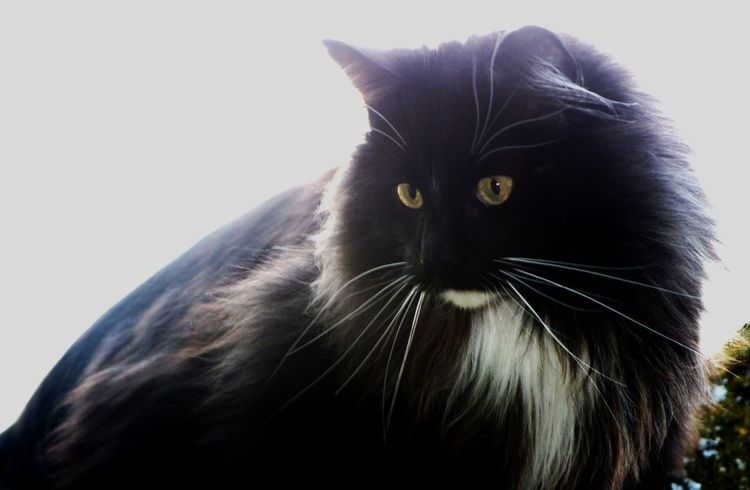 Hunter Norwegian Forestcat  Best Friend Black Smoke Kitty Domestic Animals Domestic Cat Golden Eyes On The Rooftop