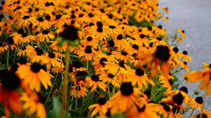 Black-eyed susan flowers blooming outdoors