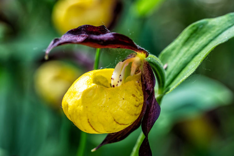 Cypripedium calceolus Lady's-slipper Orchid Cypripedium Calceolus Frauenschuh Plant Close-up Growth Freshness Beauty In Nature Yellow Focus On Foreground No People Nature Flowering Plant Green Color Flower Food Fragility Food And Drink Plant Part Day Vulnerability  Leaf Outdoors Flower Head Purple Sepal Tyrol Alps Austria