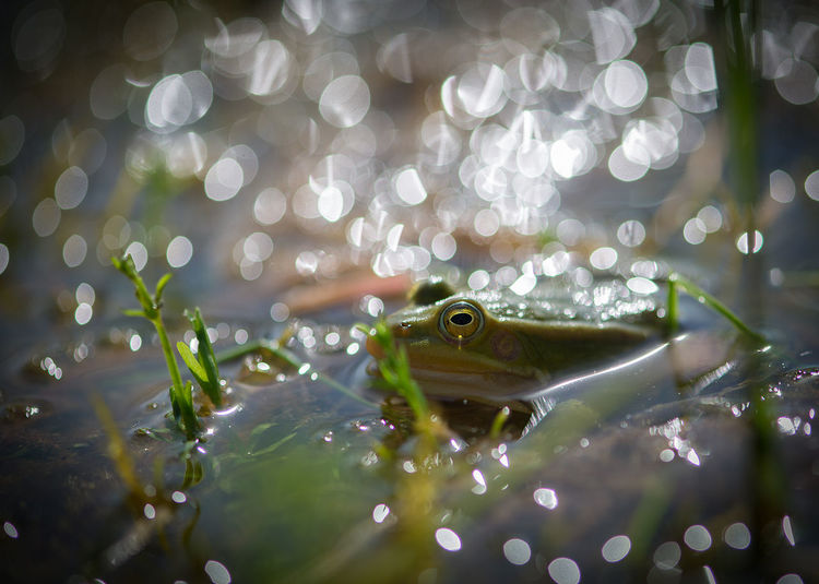 Close up of green frog