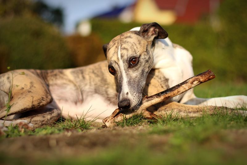 Dog biting stick while lying on field