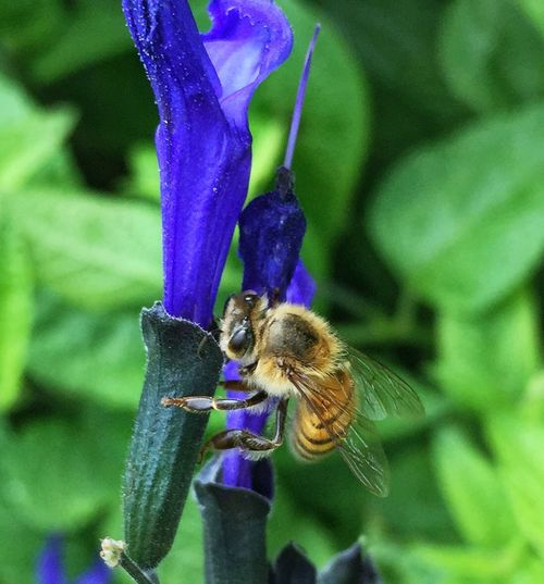 Bee ing Busy IPS2016Nature Bee Flower Purpleflower Nature Purple Pollen Garden Greenery Macro