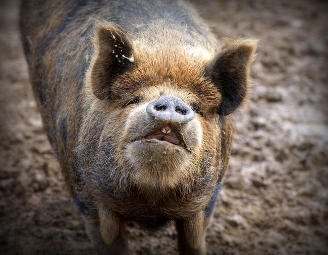 Close-up portrait of pig
