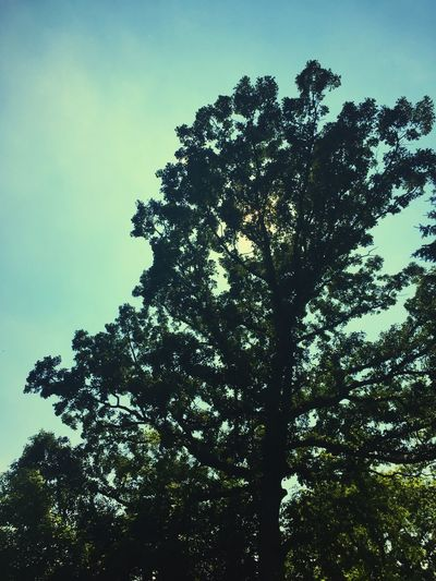 Beauty In Nature Blue Cloud Cloud - Sky Day Green Color Growth High Section Idyllic Low Angle View Lush Foliage Nature No People Outdoors Scenics Sky Tranquil Scene Tranquility Tree Treetop