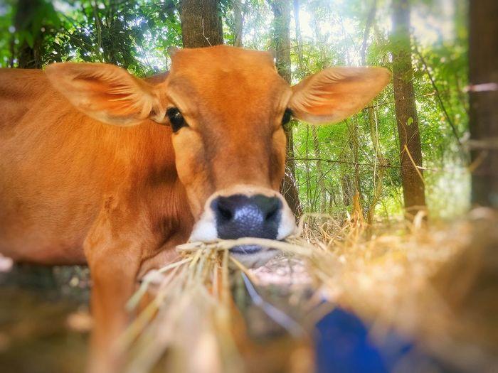little cow eat