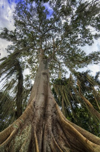 Looking up at a Ceiba tree. Beautiful Botany Branch Ceiba Tree Colombia Colorful Detail Environment Forest Green Natural Nature Outdoor Park Plant San Gil Sky Blue Tourism Town Tree Tropical Trunk View
