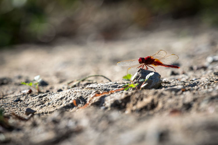 Close-up of red dragonfly on rock