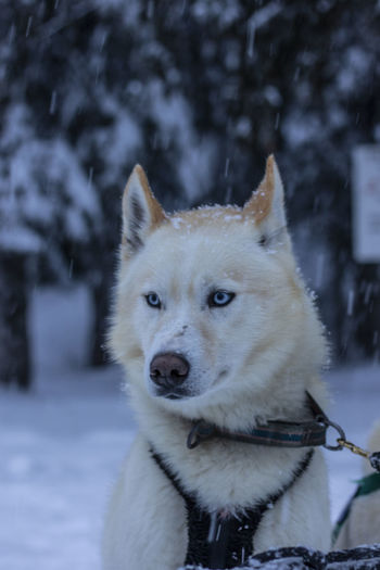 Close-up portrait of a dog on snow