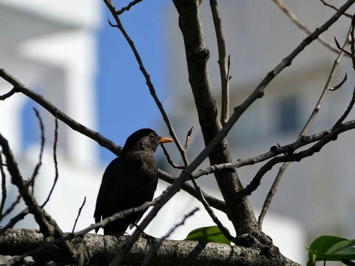 Blackbird Perching On Tree