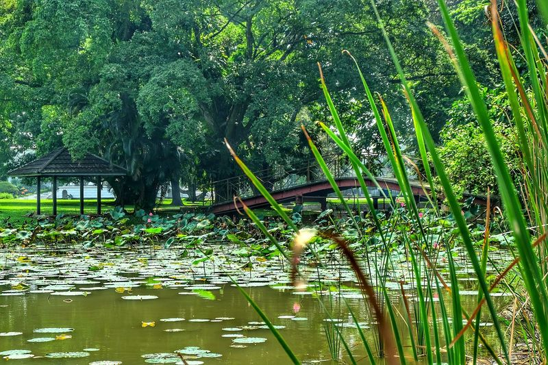 Water Beauty In Nature Outdoors Green Color Tree Day No People Plant Lotus Leaf Grass Bridge The Great Outdoors - 2017 EyeEm Awards First Eyeem Photo