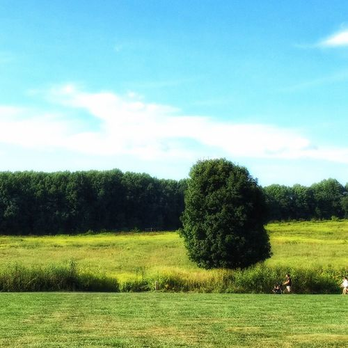 Tree Alone Field LongwoodGardens Tree Nature Growth Grass Sky Beauty In Nature Landscape Tranquility Green Color Tranquil Scene Scenics Outdoors Day No People Cloud - Sky Agriculture