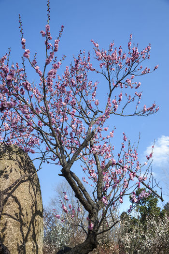Plum blossom Views Plum Blossom Views Plum Blossom Plum Blossom Branches Low Angle View Tree Sky Plant Flower Branch Flowering Plant Growth Beauty In Nature Blossom Nature No People Springtime Pink Color Fragility Day Freshness Outdoors Spring Rock - Object Rock