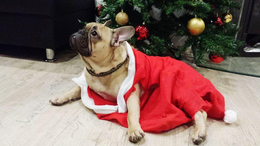 French bulldog One Animal Dog Pets Christmas Tree
