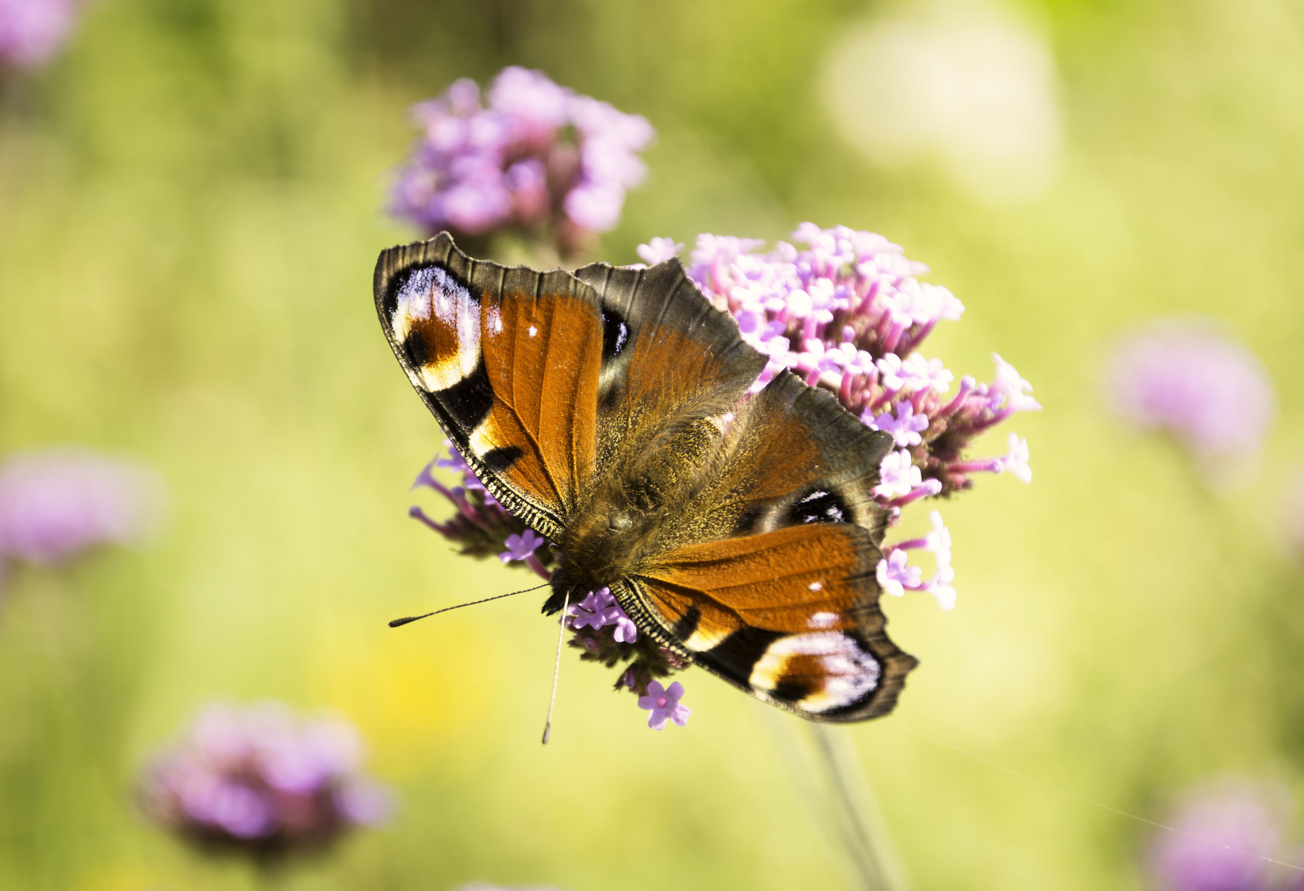 CLOSE-UP OF BUTTERFLY POLLINATING ON FRESH PINK FLOWER