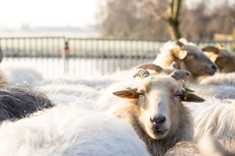 Close up of a white sheep with horns sticking his head above the herd in a winter landscape with horns Mammal Animal Group Of Animals Livestock Nature Fence Focus On Foreground Sheep Portrait No People Herbivorous Animal Head  Herd Countryside; Shepherd Flock Of Sheep Farm Grazing Winter Wool Field Green Cattle Pasture Landscape