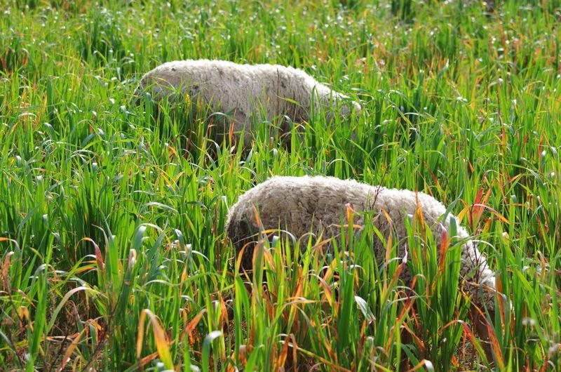 Animal Themes Day Grass Nature No People Outdoors Sheep Eating Sheep Eating Herbs