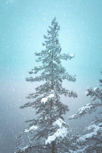 Snow on the pine trees in winter season, snowy days
