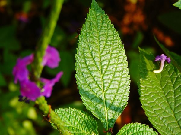 Nature Green Color Leaf Focus On Foreground Close-up Beauty In Nature Plant Growth No People Outdoors Freshness Day