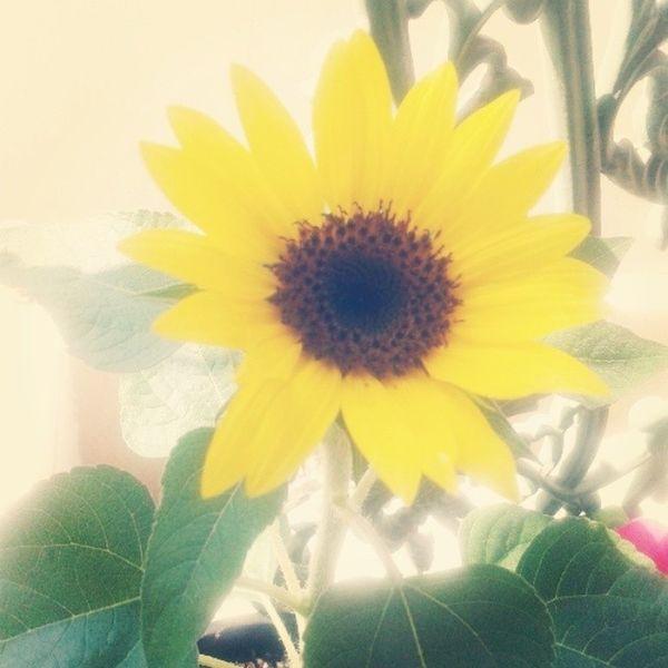 Goodmorning Sabahalkher Sunflower Flowers nature beautiful yellow happylife morning abudhabi uae