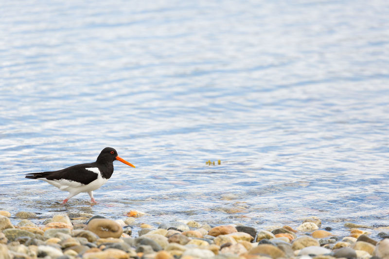Oystercatcher standing in sea