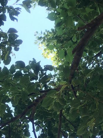 Tree Low Angle View Leaf Nature Growth Day Fruit No People Forest Beauty In Nature Outdoors Branch Freshness Sky