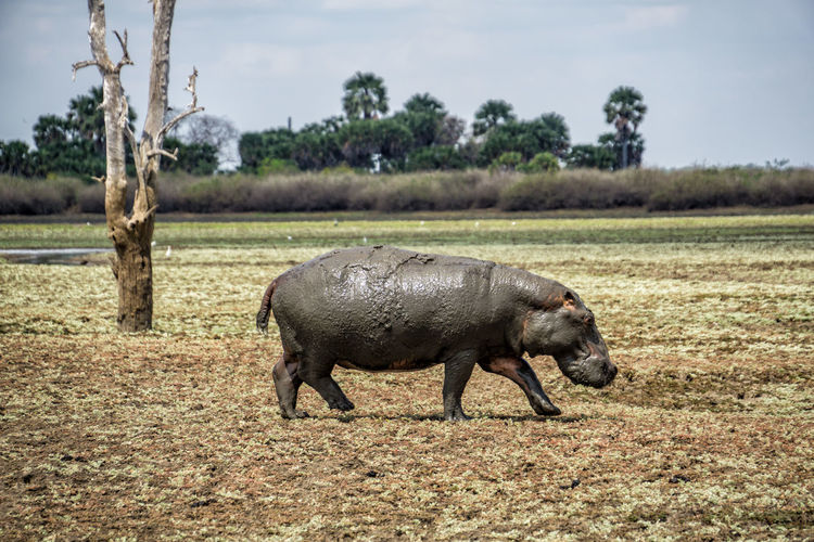 Hippo in Selous National Park Animal Animal Themes Plant Mammal Field Tree Land Animal Wildlife One Animal Animals In The Wild Nature Day Vertebrate No People Sky Side View Grass Domestic Animals Landscape Full Length Herbivorous Hippopotamus Tanzania National Park Selous