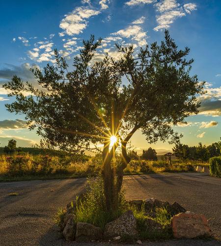 Sunlight streaming through tree at sunset