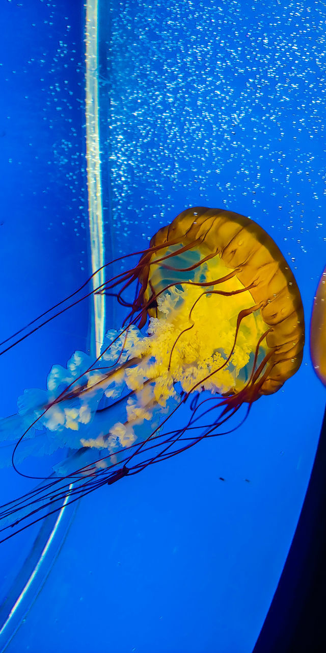 animal wildlife, jellyfish, animals in the wild, sea, underwater, invertebrate, sea life, animal themes, marine, water, animal, blue, nature, undersea, one animal, swimming, no people, animals in captivity, blue background, outdoors, floating on water