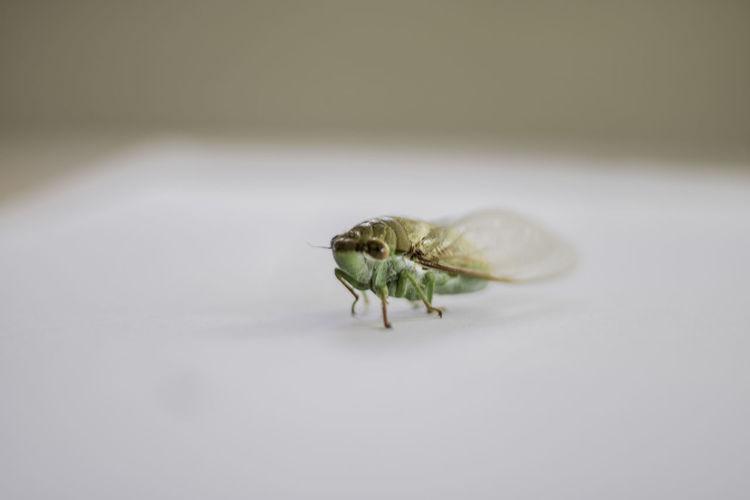 Green Cicada.