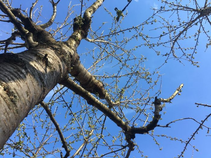Bare tree Low Angle View Tree Plant Sky Branch Nature No People Day Clear Sky Blue Growth Outdoors Beauty In Nature Sunlight Tranquility Flower Pattern Sculpture