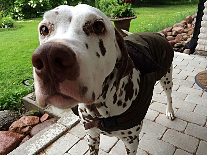 Please don't make me go out in the rain! Barbour Dogoftheday Dalmatian