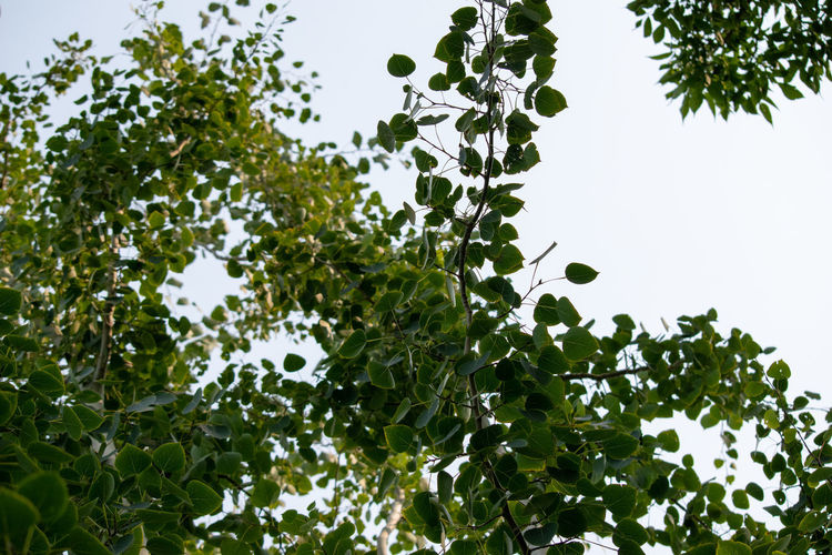 Low angle view of berries growing on tree against sky