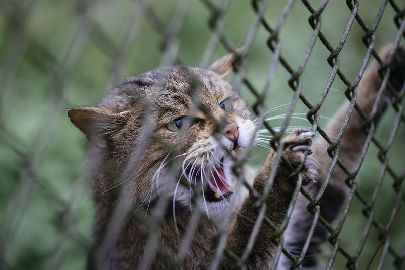 Wildcat Wild Cat Angry Wild Cats Alertness Snarling