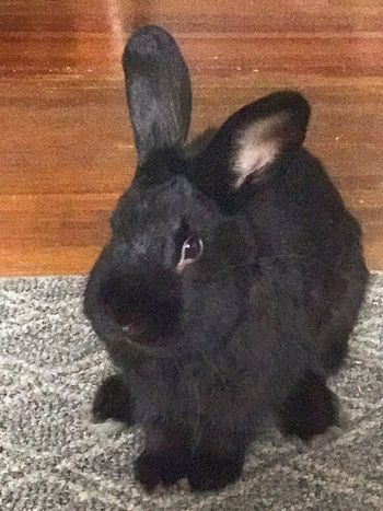 One Animal Domestic Animals Pets Black Color No People Close-up Rabbit