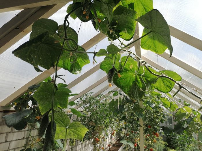 Low angle view of potted plants in greenhouse
