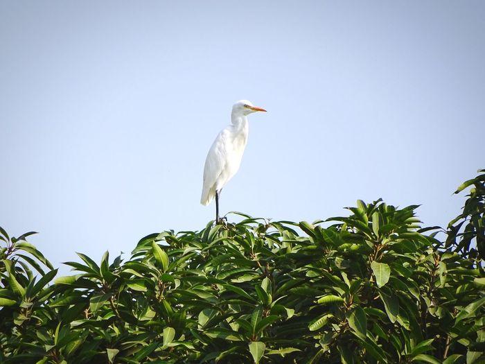 Bird Perching White Stork Tree Ibis Stork Full Length Beak Sky Gray Heron Great Blue Heron Egret Bird Nest Heron Tropical Bird Young Bird Treetop