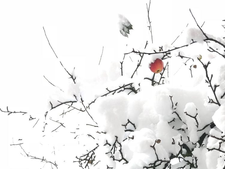 Winter in Sarajevo,Bosnia. Appple tree was chilled snow Nature Nature Winter Fruit Snow Red Beauty In Nature Outdoors Rose Hip Branch Day Cold Temperature No People Growth Tree Freshness Sky Apple Red Apple Travel iphonegraphy