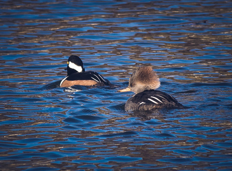 Animal Themes Animal Wildlife Animals In The Wild Couple - Relationship Hooded Merganser Natural Beauty Nature Nature Nature Photography Water Bird Wildlife Wildlife & Nature Wildlife Photography